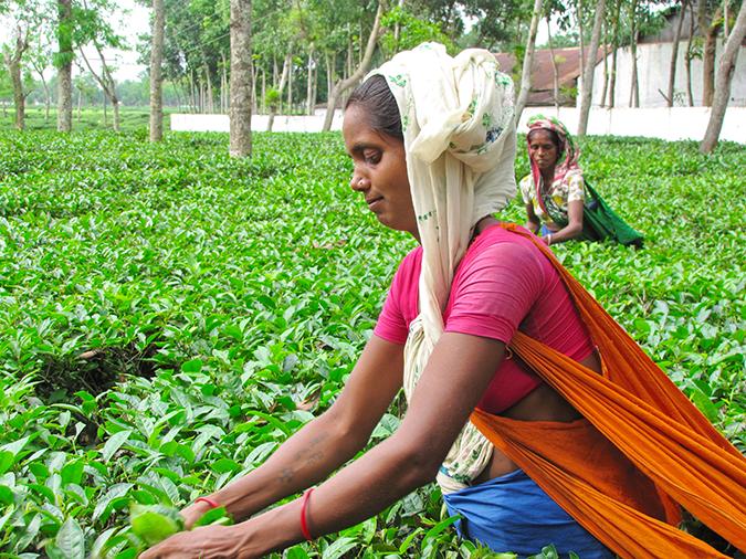 Women harvest tea in Sylhet Division, Bangladesh © Dana Ward / Shutterstock